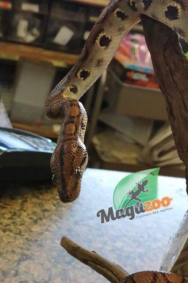Magazoo Boa arc-en-ciel Brésilien Femelle #1