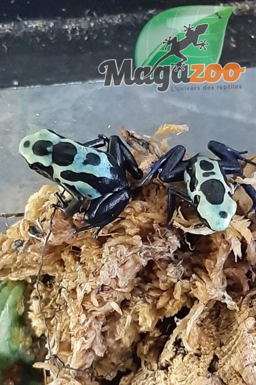 Magazoo Dendrobate 'Tinctorius Green Sipaliwini (Poison Dart frog )