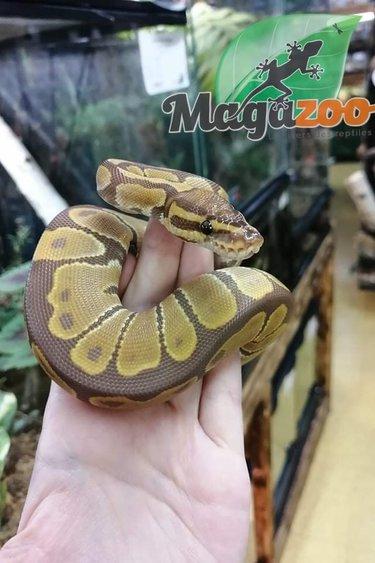 Magazoo Python royal Ultramel (Femelle)