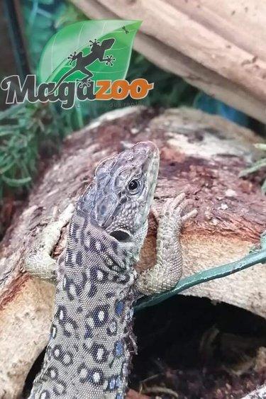 Magazoo Lacerta Ocellé  Mâle Juvénile