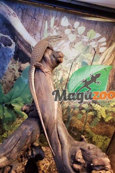 Magazoo Varan à queue épineuse (Ackie) jaune #1 Femelle