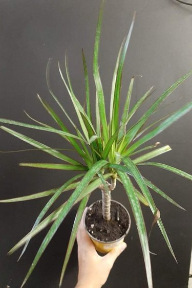 Magazoo Plante dracaena branche marginée - Plant dracaena marginated branch