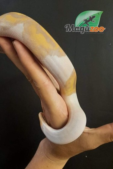 Magazoo Python royal banana pied femelle