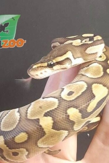 Magazoo Python royal lesser femelle