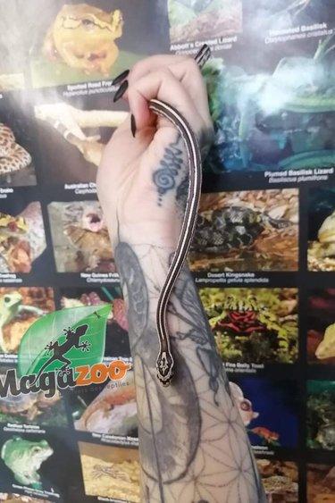 Magazoo Serpent des blés Tessera Anery
