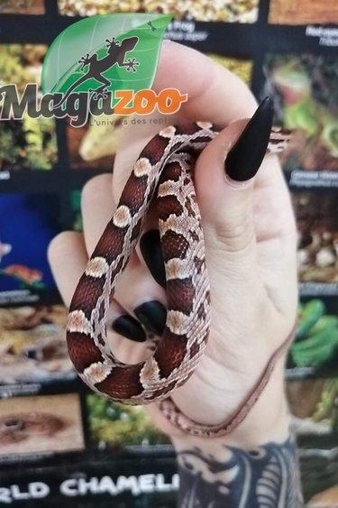 Magazoo Serpent des blés Diffuse