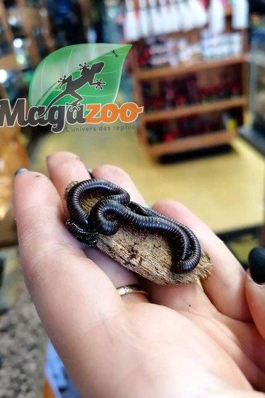 Magazoo Mille-pattes américain (Narceus americanus) CB