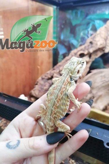 Magazoo Dragon barbu leatherback, Hypo Dunner citrus tiger, Het Zéro, Het transclucide Mâle