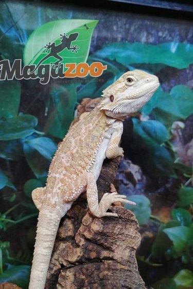 Magazoo Dragon barbu Hypo citrus/Orange, Tiger, Blue bar, Het. Zero, Het. translucide