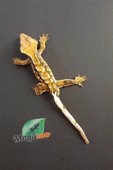 Magazoo Gecko à crête (flame harlequin) Mâle