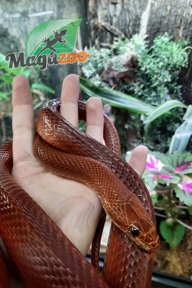 Magazoo Serpent des blés Blood Red Femelle (8 ans)
