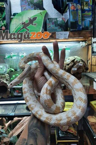 Magazoo Serpent Des Blés Snow Het Scaleless Femelle 8 ans