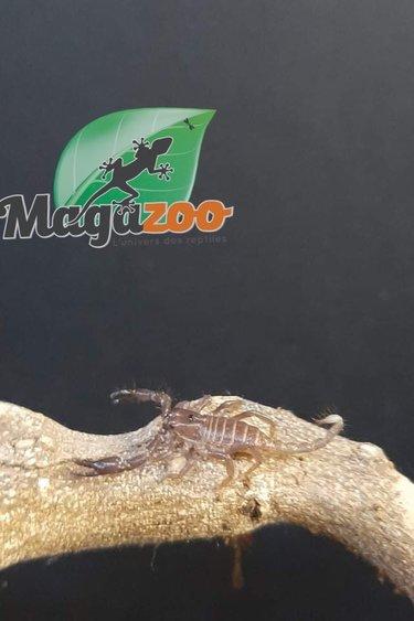 Magazoo Scorpion noir d'Asie Bébé  Heterometrus spinifer
