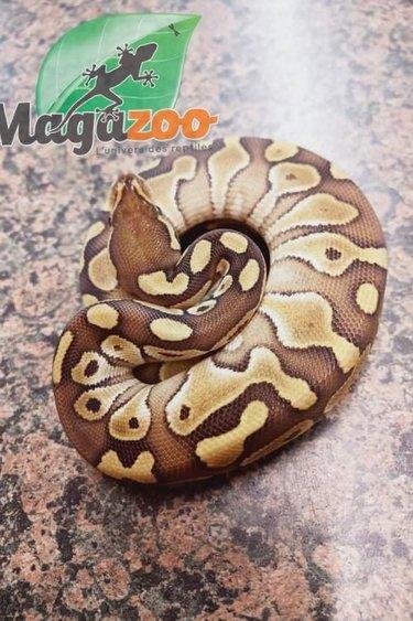 Magazoo Python royal Lesser (Bébé femelle)