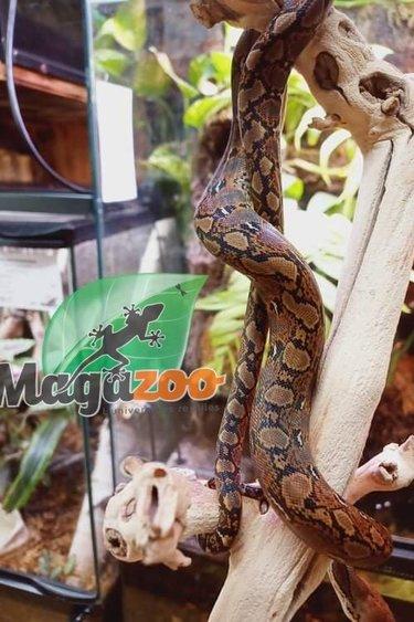 Magazoo Python réticulé Bébé Mâle 2021 (66% Poss. Het. Albino Lavander et White Albino)