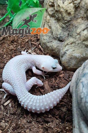 Magazoo Gecko léopard Blazing Blizzard (né 12 juillet ) femelle