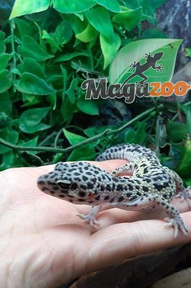 Magazoo Gecko léopard Albinos Tremper het blizard (Né  2 juillet)