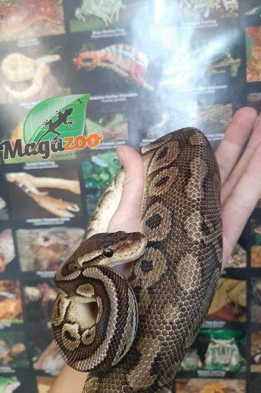 Magazoo Python royal Pewter Double het Caramel  Pied Male #1 (cinamon pastel)