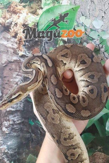 Magazoo Python royal Pewter Double het Caramel  Pied Male #2 (cinamon pastel)