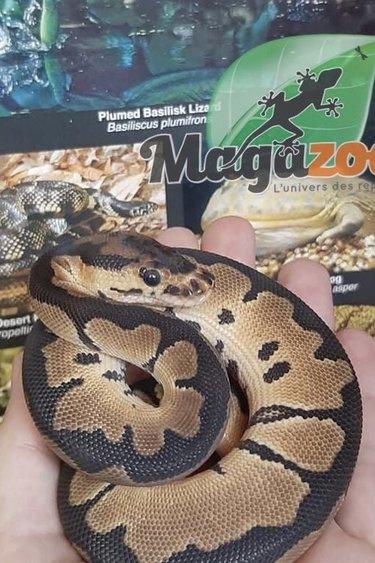 Magazoo Python Royal Clown 66% Het Ultramel Mâle Bébé