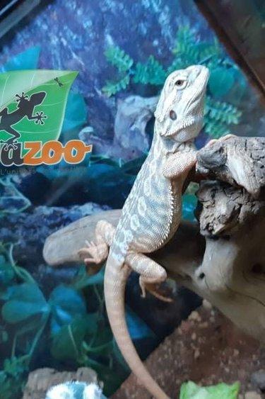 Magazoo Dragon barbu #2 Leatherback, Hypo Dunner, Citrus Tiger, Het. Zero, Het. translucide Femelle