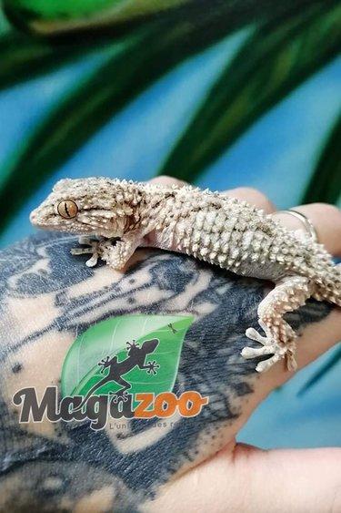 Magazoo Gecko des Rochés Mâle