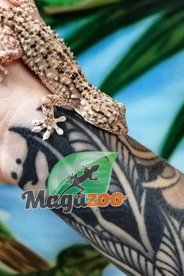 Magazoo Gecko des Rochés Femelle