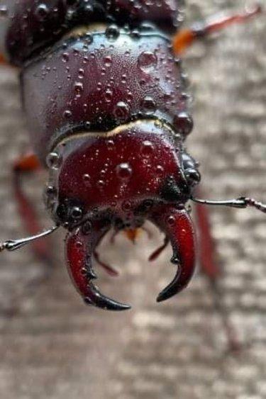 Magazoo Lucanus capreolus - Kit avec 1 larve
