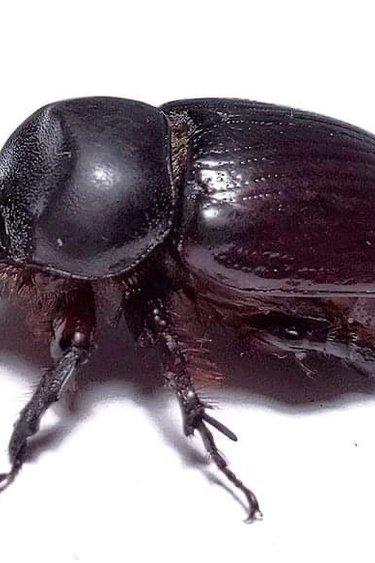 Magazoo Xyloryctes jamaicensis - Kit avec 1 larve