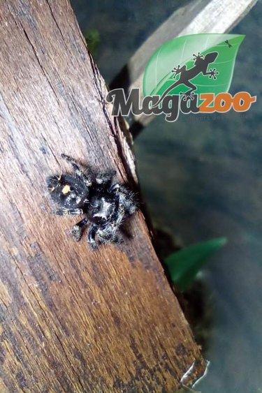 Magazoo Araignée sauteuse (Femelle)/Phiddipus audax
