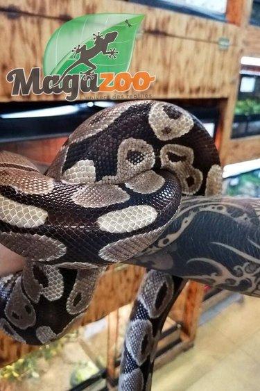 Magazoo Python royal régulier Mâle Adulte - Adoption - 2ième chance