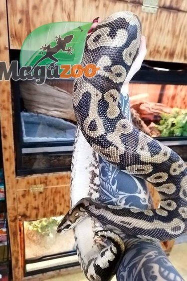 Magazoo Python royal pastel Femelle Adulte Adoption - 2ième chance