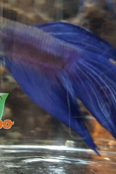 Magazoo Betta bleu