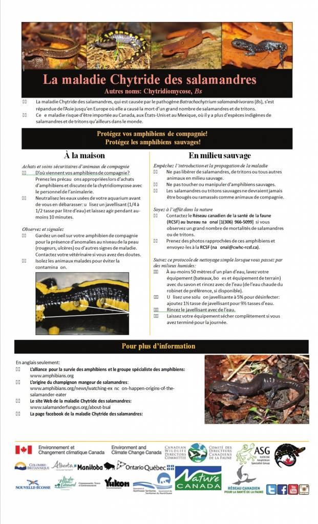 La maladie Chytride des salamandres
