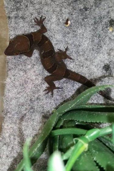 Magazoo Gecko à bandes Banded leaf-toed gecko