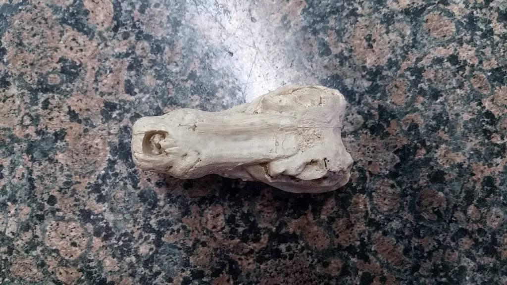 Reppro Crâne de Crocodile