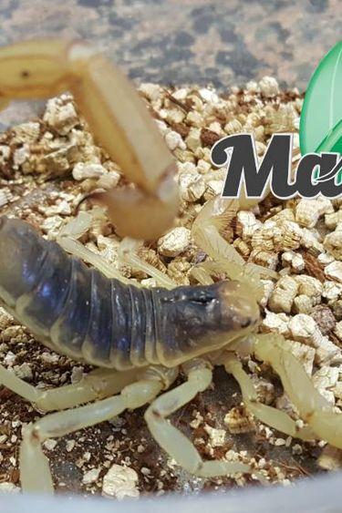 Magazoo Scorpion Jaune d'Arizona