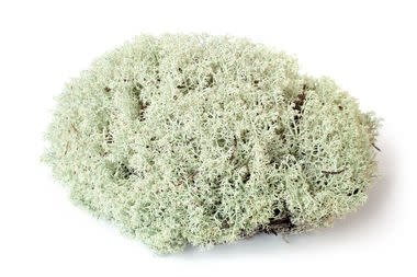 Galapagos Mousse Renne  150 Cubic In./Reindeer Moss