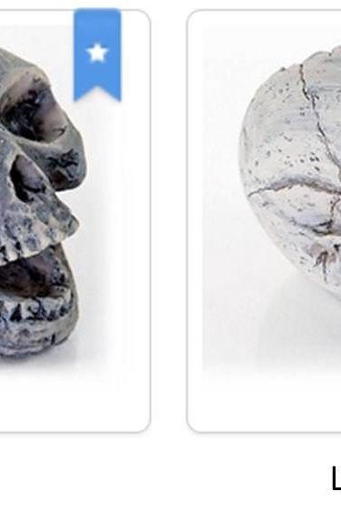 Origins Crâne humain - Human skull