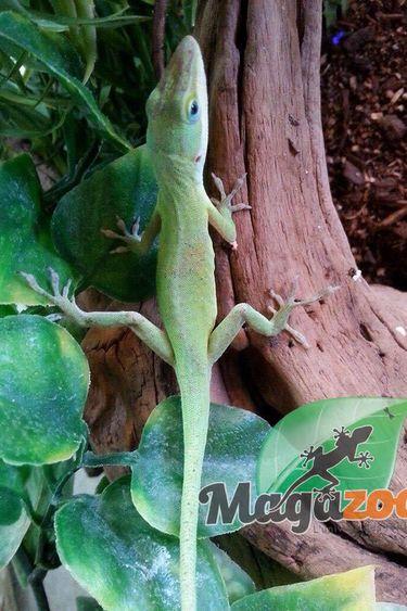 Magazoo Anolis vert (non sexé)