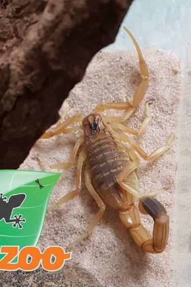 Magazoo Scorpion deathstalker