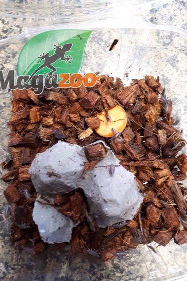 Magazoo Culture Cloporte Prune  Isopod Dorcellionides pruinosus