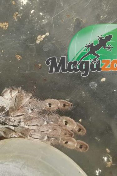 Mygale ornementale du Togo (Femelle)/Heteroscodra maculata