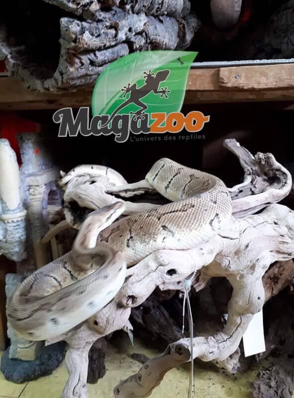 Magazoo Python Royal Lemon Blast Mâle