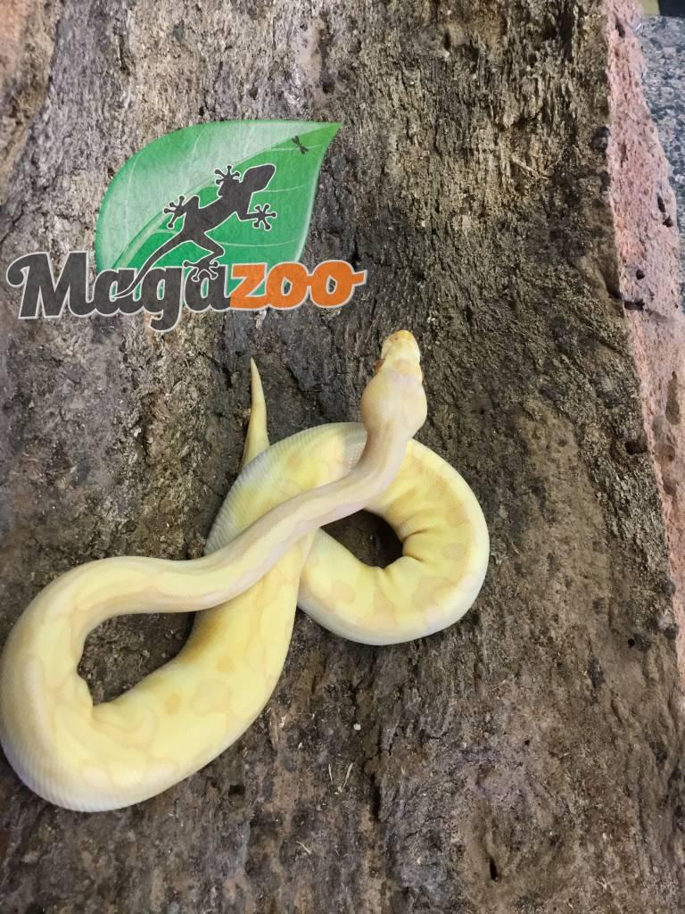 Magazoo Python royal albino enchi femelle bébé