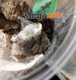 Magazoo Mygale blonde de Panama/Psalmopoeus pulcher