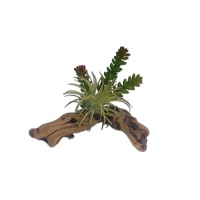 Plante verte sur bois - Succulent on Driftwood