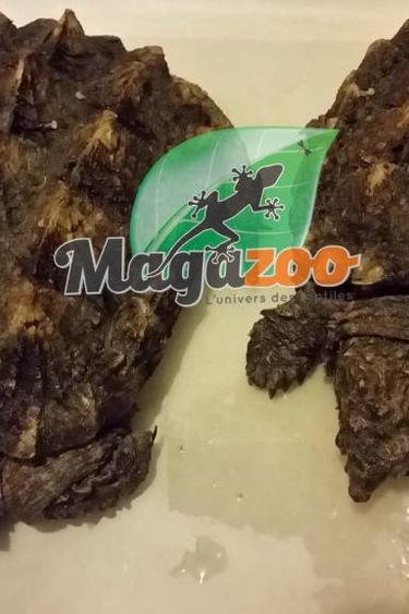 Magazoo Tortue alligator