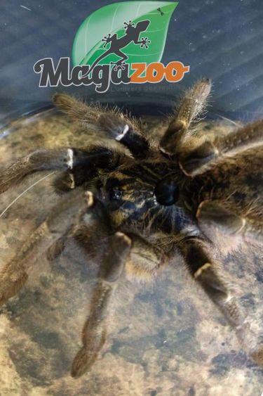 Magazoo Mygale à corne/Ceratogyrus marshalli