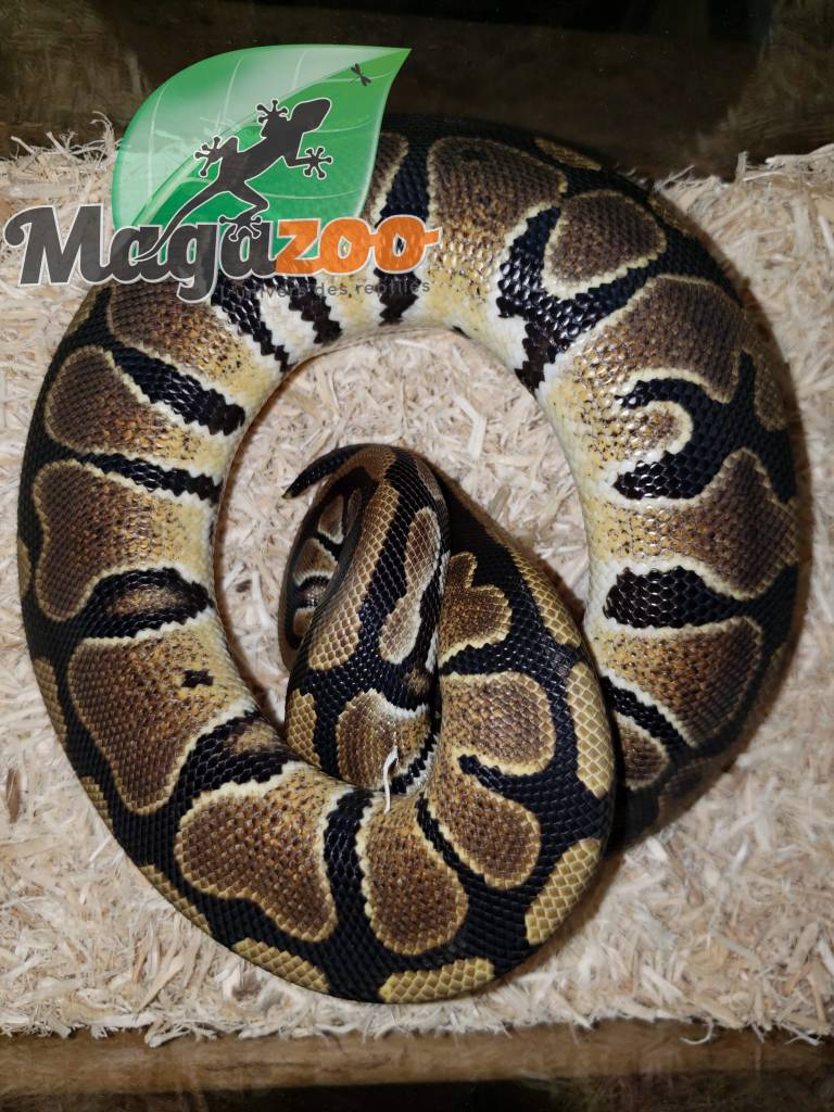 Magazoo Python Royal Régulier (Bébé) mâle